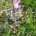 Rotes Waldvögelein (Cephalanthera rubra) - eine Orchidee