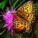 Die Schmetterlinge tanzten heute wieder um die Wette.