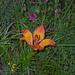 orange-rote Feuerlilie; wenigstens macht diese Blume auch im Regen noch eine gute Falle