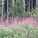der Wald blüht wunderschön