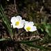 Küpfers Hanenfuß (Ranunculus kuepferi) (merci [u Alfred])