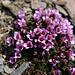 Saxifraga oppositifolia (merci [u 360])