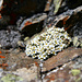 Schweizer Mannschild (Androsace helvetica) (merci [u Alfred])