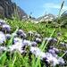 Blumenpracht mit Hanghorn im hintergrund