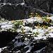 Doronicum im Schnee