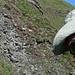 Junge Steinböcke, zum Greifen nah – auf der Flucht vor dem ins Bild laufenden Cowboy (Foto: [U Alpin_Rise])