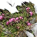 Kerners Läusekraut.  (Pedicularis Kerneri)