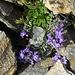Alpen-Leinkraut mit Eisstückchen (Linaria alpina)