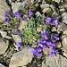 Linaria alpina Alpen-Leinkraut