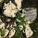 Mannsschild-Steinbrech ?  (Saxifraga  androsacea)?