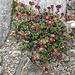 Zweiblütiger Steinbrech  (Saxifraga biflora)