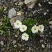 Alpen-Hahnenfuss  Ranunculus alpestris