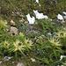Stachlige Kratzdistel. (Cirsium spinosissimum)  mit Vergissmeinnicht