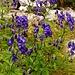 Blauer Eisenhut auf Alpe Gradisc