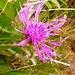 Flockenblume am Abstieg von der Bocchetta della Crosa