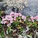 Alpenazalee oder Gämsheide, Loiseleuria procumbens (grazcha [u 360]).