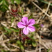 die Blüte eines Storchenschnabels