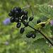 Actaea spicata oder Christophskraut