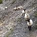 Ratlose Schafe im Gegenverkehr