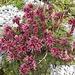 Semprevivum .... specie di piante succulente,  con fiori di colore rossastro!!!