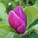 Wahrscheinlich eine Purpur-Magnolie, die im Hochsommer noch einmal blüht... Lasse mich gerne eines Besseren belehren.
