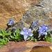 wieder einmal: die speziellen Mont-Cenis-Glockenblumen