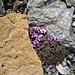 interessante Gesteinsformationen umgeben den Gegenständigen Steinbrech