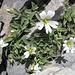 Blumentupfer im Fels; das Hornkraut, zwar auf den ersten Blick eher unscheinbar, setzt sich gut in Szene