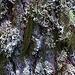 Flechten und Moose bevölkern einen Baumstamm einer Europäischen Lärche (Larix decidua).