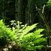 Auch Farne sorgen zusammen mit der Sonne für schöne Lichteffekte im Wald.