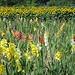 Zierpflanzen prägen vielerorts die Landschaft, hier bei Lindenholz