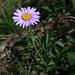 Alpine aster (Alpenaster, Aster alpinus)