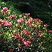Alpenroses (Rhododendron ferrugineum)