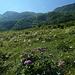 Durch schöne Bergwiesen geht es die Ochsenplanggen hinauf. Oben wartet schon der Erlen-Dschungel.