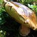 Steinpilz (Boletus edulis) - einer der vorzüglichsten Speisepilze!