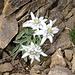Edelweiss am Gipfel des Engelberger Rotstocks