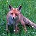 Der Fuchs schleicht sich an...