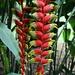 """Die Blüten der Heliconia chartacea, auch als """"Sexy Pink"""" bekannt."""
