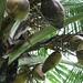 Reifende Nüsse einer Kokospalme.
