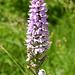 Geflecktes Knabenkraut - eine einheimische Orchidee