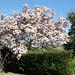 Blühende Magnolie im Hof meiner Schwiegermutter. Hier gehts los.
