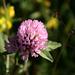 Trifolium pratense - Rot-Klee/Wiesen-Klee (merci [u 360])