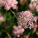Chaerophyllum hirsutum Roseum - Berg-Kerbel, Mountain Chervil, Cerfoglio selvatico, Tscherfegl d'aua  (merci [u 360])