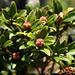 Rostblättrige Alpenrose (Rhododendron ferrugineum) (merci [u 360])