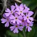 Primula farinosa (De: mehlige Schlüsselblumen, En: bird's-eye primrose, Rumantsch: primula farinusa)