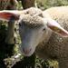 Petit mouton un peu triste