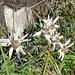 """das von [u mel] als """"Edelweisswiese"""" bezeichnete Gebiet um den Hubel (P. 1810) macht dem Namen alle Ehre ..."""