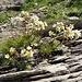 und der Trauben (oder Immergrüne) Steinbrech entzückt aufs Neue