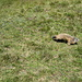 mi arriva vicino la marmotta in fuga da Billie