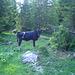 Kuh im Wald.